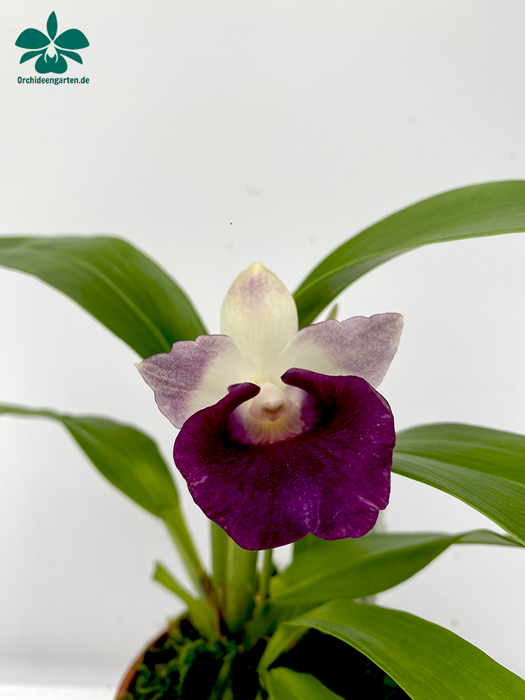 Cochleanthes Hybride lila weiß